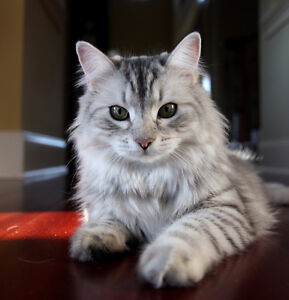 Siberian kitten or cat
