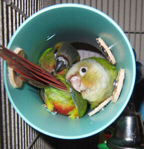 ❤★❤ Baby Conures with Cage❤★❤