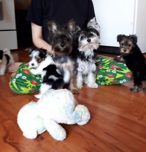 Beautiful Tiny Morkie Puppies