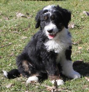 3/4 Bernese X 1/4 Poodle