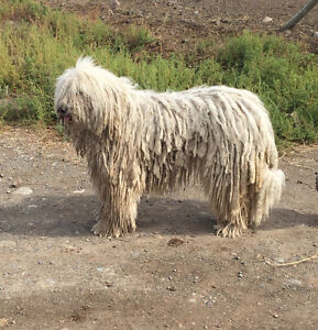 Komondor puppies livestock guardian