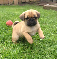 Selling: Pug puppies with 1/4 beagle
