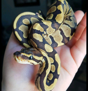Female Fire Ball Python