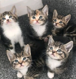 ***ALL RESERVED ***5 beautiful Siamese X kittens - ready 22nd October