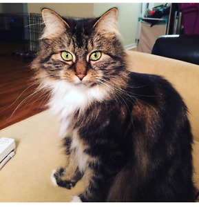 MISSING CAT FROM SOUTHFORT BLVD- FORT SASK
