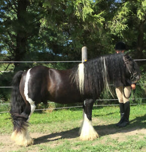 Gypsy Vanner Stallion at Stud