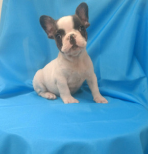The Most Beautiful French Bulldog puppies in Ottawa