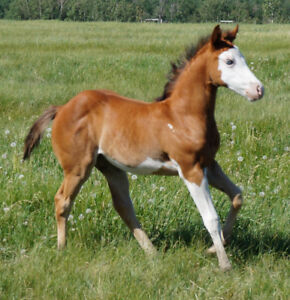 2018 Bay Overo Filly