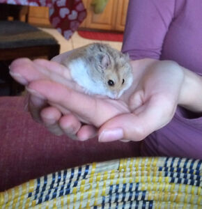 Selling my Russian Hamsters
