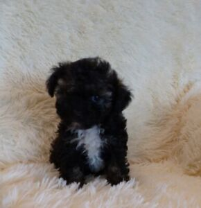 Toy Poodle Puppies - Ready To Go!