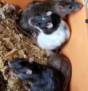 Cute Little Rats!!!