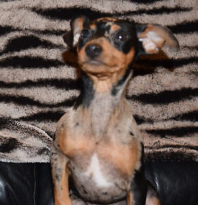 Miniature Pinscher | Kijiji - Buy, Sell & Save with Canada's