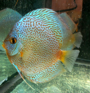 Wanted Discus
