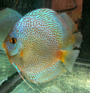 I want to buy discus fish