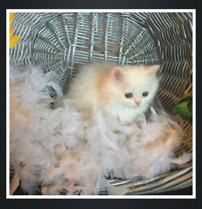 *REGISTERED SNOW WHITE PUREBRED PERSIAN & HIMALAYAN KITTENS**