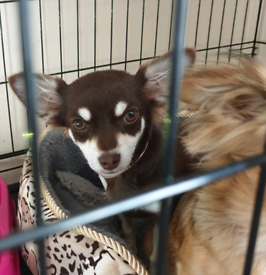 Long haired chihuahua | Dogs & Puppies for Sale - Gumtree