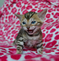 AVAIL Stunning TICA Registered BENGAL kittens (Delivery Inc.)