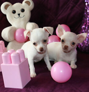 Chihuahua❤❤❤ Femelle blanche  ❤ red nose  ❤