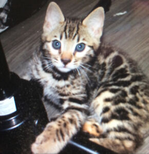RARE PURE BRED BENGAL CUBS  TRI COLOR ROSETTES MARBLING
