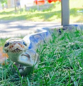 serpent python NÉGOCIABLE!!!