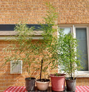 Various Bamboo Plants ranging from $65 - $85