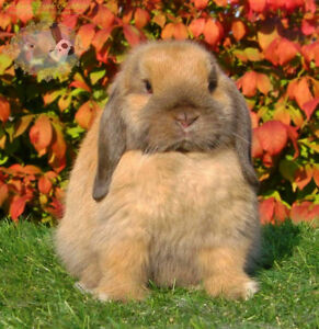 Beautiful baby Holland Lop bunny! Negotiable