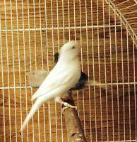 femelle canari blanche 2015