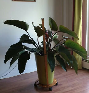 Huge Philodendron Plant