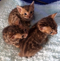 Bengal kittens- glitter and colour ROSSETTES REALLY POPPIN'