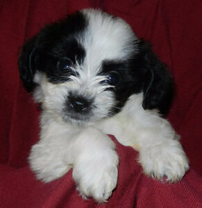 Yorki poo puppies for sale