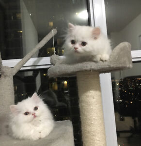 Cute Himalayan persian kittens for sale