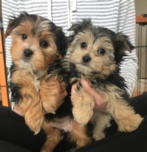 Morkies   Adopt Dogs & Puppies Locally in Canada   Kijiji Classifieds