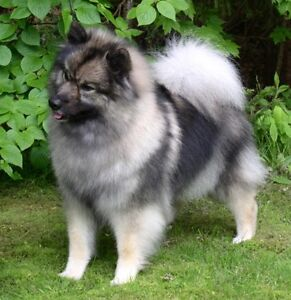 Wanted: Female Keeshond Puppy