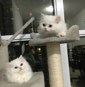 Pure white Himalayan/persian kittens for sale