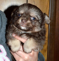 Gorgeous Long Coat Chihuahua Puppies READY