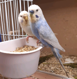2021 hatched young budgies .