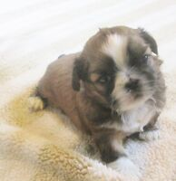CKC Registered Shih Tzu Puppies