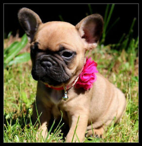 Stunning frenchton puppies (French bull dog Bostons)