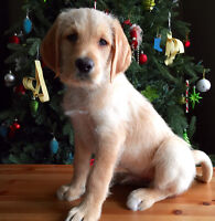 Labradoodle Puppy ~ Male ~  8 Weeks & Ready to Go ~ St. Thomas