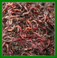 Red Wigglers - live composting worms, vermicompost