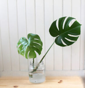 Monstera Plant Cutting or full size plant