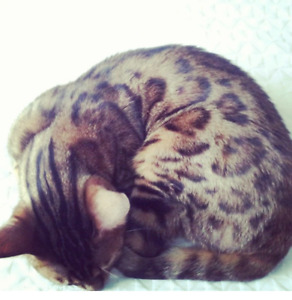 Purebred Bengal for sale