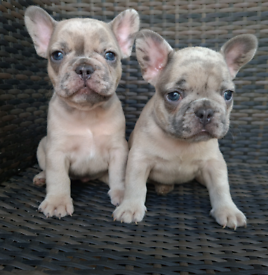Blue/ fawn/ merle french bulldog puppies