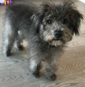 Schnoodle Puppy! 6 months old, fully vaccinated & house trained!
