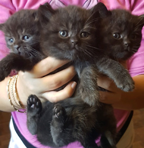British Shorthair Kittens, purebred, Chocolate, Lilac, White