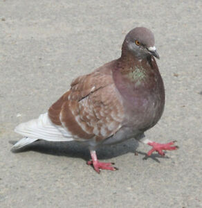 LOST: Brown female pigeon!!