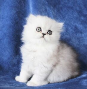 Adorable Persian Kittens for Adoption