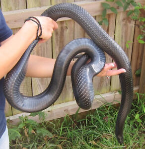 J'adopte vos Serpents/Will adopt your Snakes