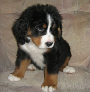 CKC regd Bernese Mountain Dog Pups - Available now