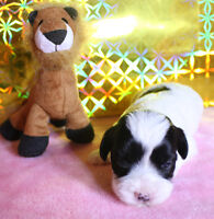 PUPPIES(HAVANESE) FROM CHAMPIONSHIP PARENTS
